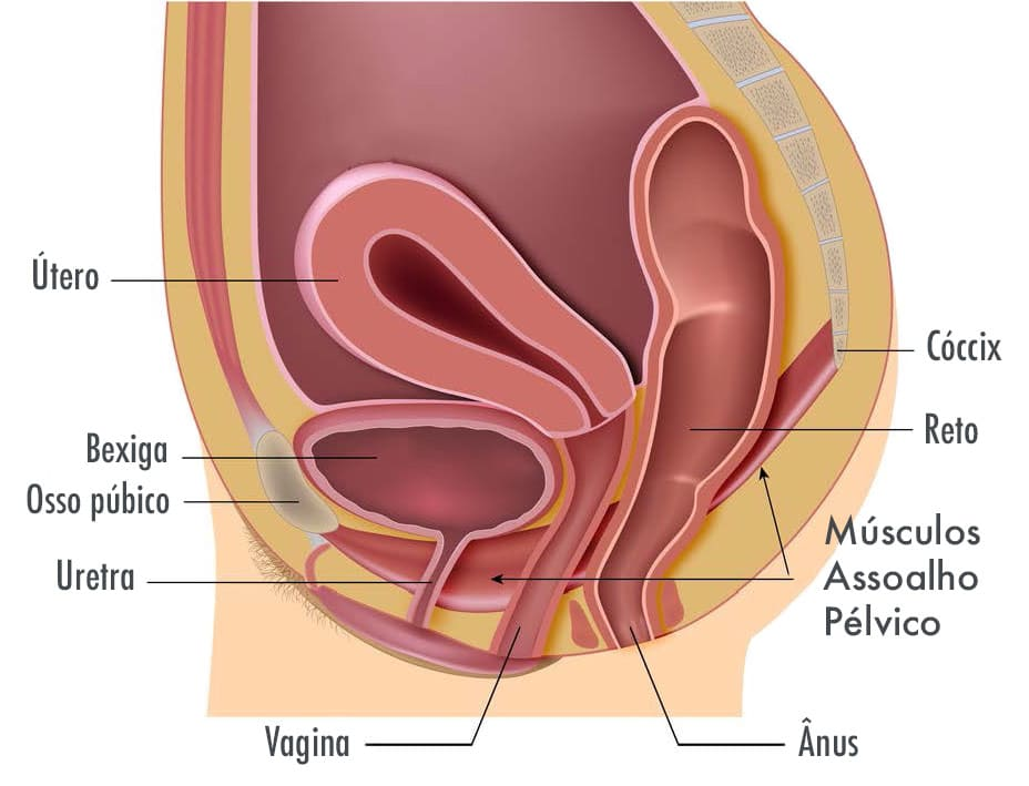Corte anatômico vertical do baixo ventre feminino