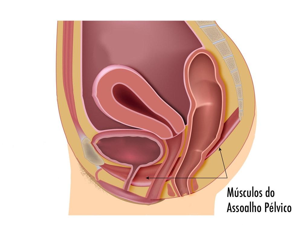Desenho dos músculos do baixo ventre feminino