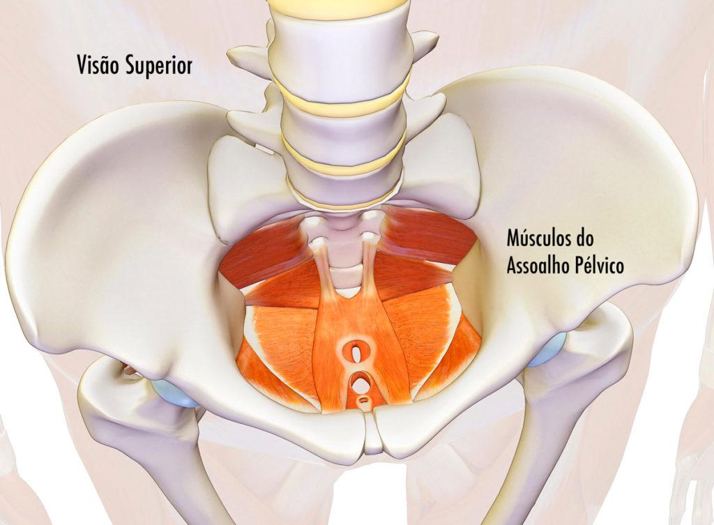Ilustração com visão superior da bacia feminina com os músculos perineais
